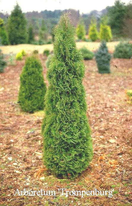 Фото хвойных деревьев с шишками и названиями